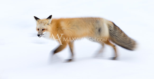 A long exposure motion blur of one of the Lamar Valley foxes.