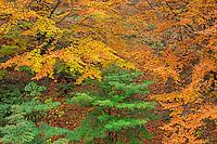 ORPTH_123 - USA, Oregon, Portland, Hoyt Arboretum, Autumn color of American beech trees (Fagus grandifolia).