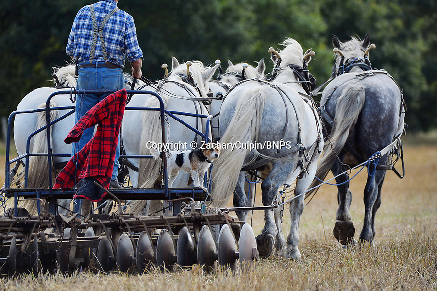 BNPS.co.uk (01202 558833)<br /> Picture: ZacharyCulpin/BNPS<br /> <br /> Robert's dog on board the cart as Robert works the land.<br /> <br /> Heavy horse power... Farmer Robert Sampson uses 6 massive Percheron heavy horses to prepare the field before planting grass seed at his plot in Harbridge, near Ringwood in Hampshire.<br /> <br /> Robert doesn't use a tractor to work the land insisting on traditional horse power, he is a fifth generation farmer on the farm which his family have worked with horses since 1885.<br /> <br /> It takes him three times as long to till the land as it would with a tractor, but Robert insists the economic benefits as well as his enjoyment more than make up for the slightly slower progress.