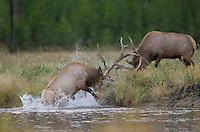 Elk, Wapiti, Cervus elaphus, bulls fighting at rivers edge,  Yellowstone NP,Wyoming, USA