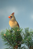 Northern Cardinal, Cardinalis cardinalis, female, perched on Pine.