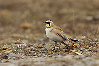 Adult Horned Lark (Eremophila alpestris) of the eastern subspecies E. a. alpestris. Cayuga County, New York. March.