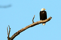 Courtesy photo/PHYLLIS KANE<br />REST STOP<br />A bald eagle perches on a branch Dec. 30 near Decatur.
