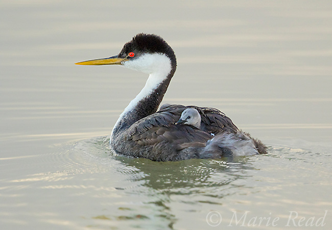 Western Grebe (Aechmophorus occidentalis), adult swimming with chicks riding on its back, Bear River Migratory Bird Refuge, Utah, USA