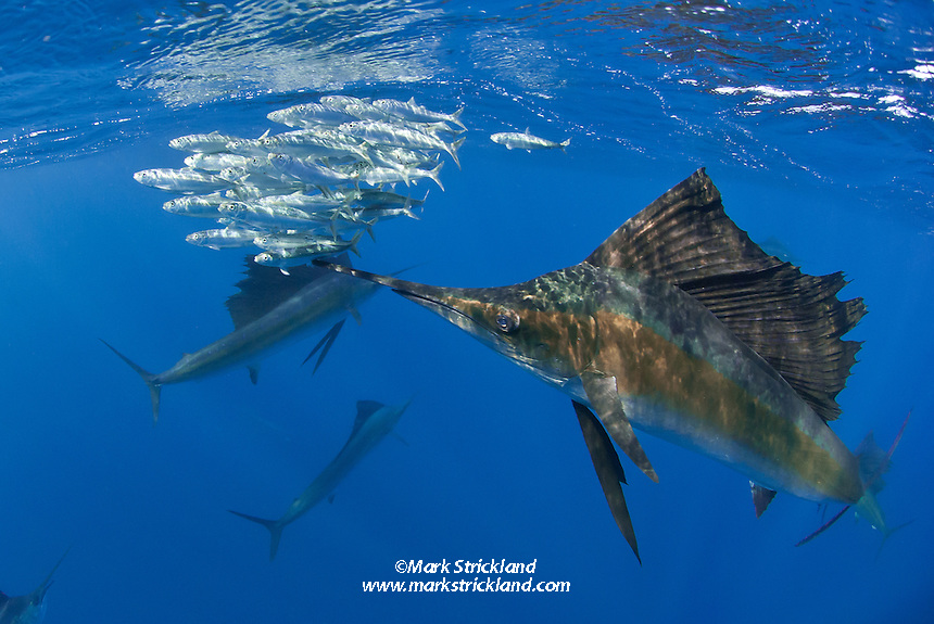 Atlantic sailfish, Istiophorus albicans or platypterus, uses its spear-like bill to stun its prey, Spanish sardines, Sardinella aurita. Isla Mujeres, Yucatan Peninsula, Mexico, Caribbean Sea