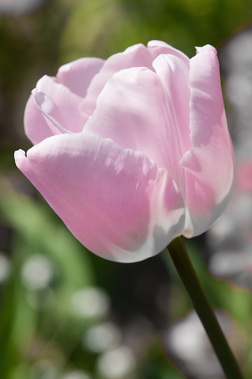 Tulip 'Pink Diamond' (Single Late Group), late April.