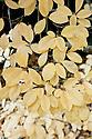 Autumn foliage of Magnolia x loebneri 'Merrill' (kobus x stella), early November.
