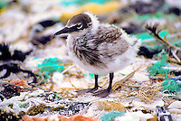 Brown noddy (noio) chick amidst marine debris; Kure Atoll, Northwestern Hawaiian Islands, 1988