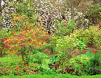 V00286M.tif   Garden at Hendricks Park with blooming rhododendrons and azaleas. Eugene, Oregon