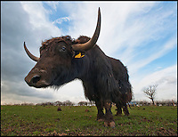 BNPS.co.uk (01202 558833)<br /> Pic: PhilYeomans/BNPS<br /> <br /> The 1/2 ton bull Yak.<br /> <br /> An enterprising farming couple have taken the unusual step of introducing the Himalayan Yak to the rolling fields of rural Cheshire.<br /> <br /> The fearsome looking bovid, more normally found in freezing temperatures on the tibetan plateau, has been introduced to Britain for the first time in an attempt to boost production in the dairy herd, as well as for the potential health benefits of its low cholestrol meat.<br /> <br /> Unlike domestic cattle the frisky Yaks can be left out in all weathers, happy dealing with temperatures as low as -40 - They also sport four foot wide horns, are very nimble on their feet and are quite capable of jumping a five bar gate if spooked.<br /> <br /> Helen and Matt Worth from Congleton are confidant their Yak breeding plans will catch on although it is unlikely the grunting of Yaks will replace the mooing of traditional cattle any time soon.