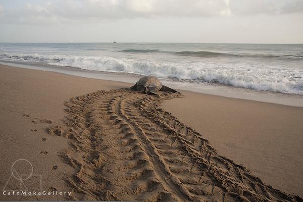 Giant Leatherback Turtle