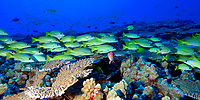 schooling reef fish, French Frigate Shoals, Papahanaumokuakea Marine National Monument, Northwestern Hawaiian Islands, Hawaii, USA, Pacific Ocean