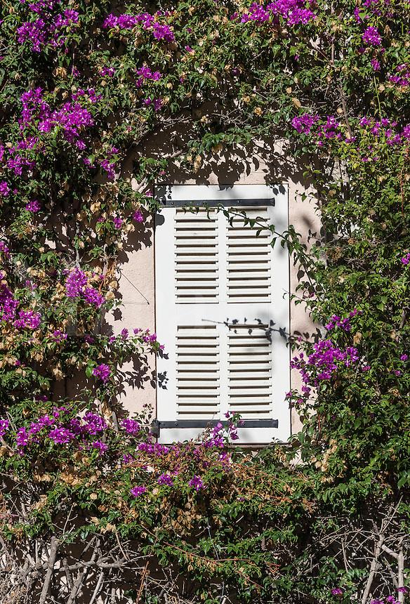 Buganvilla vine frames shuttered window, Saint Tropez, France
