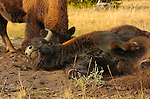 Bison Wallowing in the Dirt, Madison Junction, Yellowstone National Park, Wyoming
