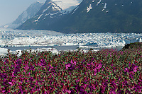 Spencer Glacier is framed by fireweed. The Alaska Railroad's Spencer Glacier Whistlestop train gives visitors access to hiking, camping and stunning views.