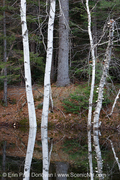 Reflection of birch trees in pond along the Kancamagus Highway (route 112), which is one of New England's scenic byways in the White Mountains, New Hampshire USA