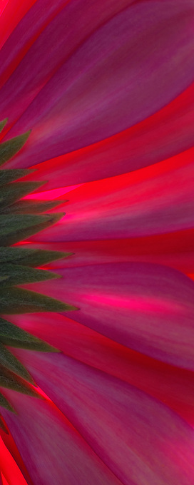The radiating colorful ray florets of this Gerbera flower.
