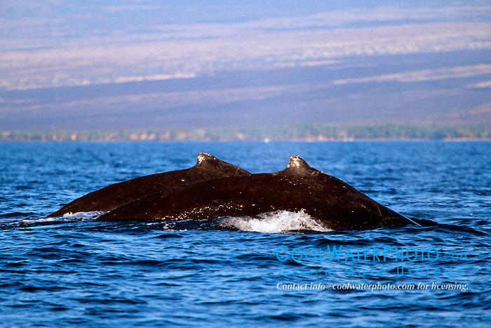 humpback whales, Megaptera novaeangliae, Big Island, Hawaii, Pacific Ocean