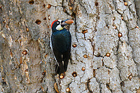 Male Acorn Woodpecker (Melanerpes formicivorus) with acorn it is storing in bark of an oak tree.  California