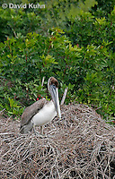 0308-0846  Brown Pelican, Pelecanus occidentalis © David Kuhn/Dwight Kuhn Photography