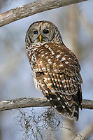 Barred Owl - Strix varia - Adult