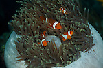 Four true Percula Clownfish  (Amphiprion percula) in their anemone all balled up. North Raja Ampat, West Papua, Indonesia
