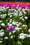 Purple ranunculus flower against a colorful backdrop of flowers in bloom