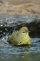 592218024 Orange-crowned Warbler Vermivora celata WILD.Bathing in small pond showing orange feathers on head.Rio Grande Valley, Texas