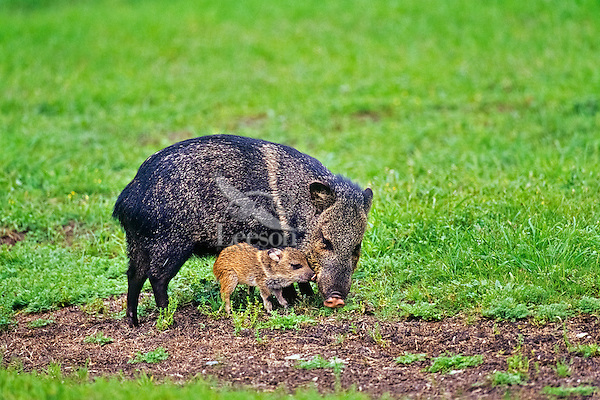 Collared Peccary or Javelina (Pecari tajacu)--mother with young piglet.  American Southwest.