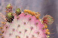 CACTUS - PRICKLY PEAR<br /> Prickly Pear Buds, Opuntia