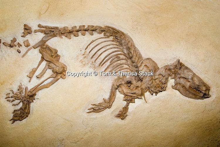 Fossil otter-like animal, Palaeosinopa sp., Lower Eocene, Wyoming, 50 million years old