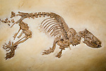 Fossil otter-like animal, Palaeosinopa sp., Lower Eocene, Wyoming, 50 million years old