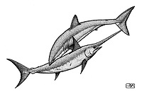 Shortfin mako shark, Isurus oxyrinchus, attacking swordfish, Xiphias gladius, pen and ink illustration.