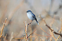 Blue-gray Gnatcatcher (Polioptila caerulea amoenissima), Western subspecies, male in breeding plumage singing at the Desert National Wildlife Refuge outside Las Vegas, Nevada.
