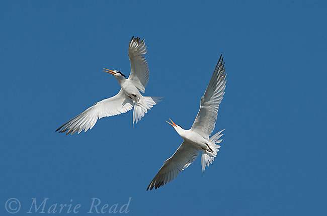 Elegant Tern (Sterna elegans), two fighting in midair, Bolsa Chica Ecological Reserve, California, USA