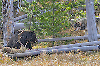 Wild GRAY WOLF (Canis lupus) and GRIZZLY BEAR at wolf killed elk.  Grizzly bears frequently steal wolf kills.  Greater Yellowstone Ecological Area.  Fall.