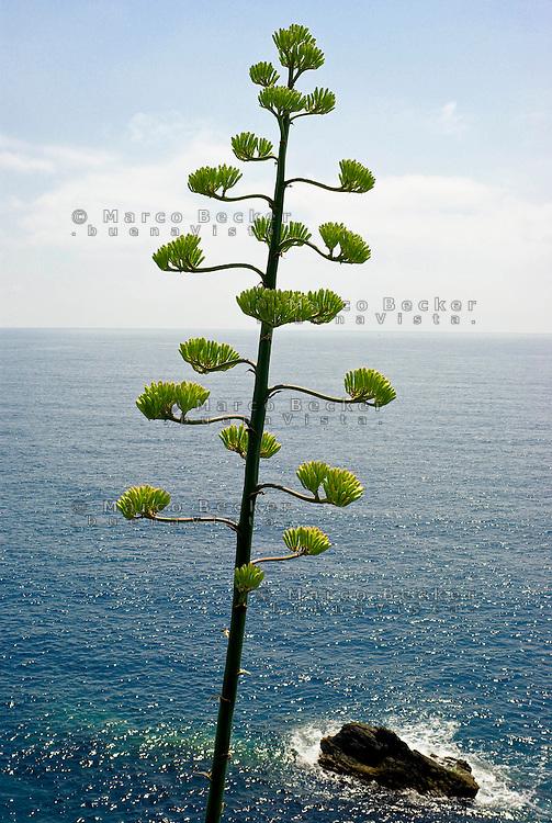 Riomaggiore (La Spezia), fiori di agave --- Riomaggiore (La Spezia), flower of agave