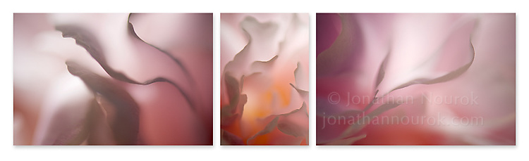 Close-up photographic triptych of white/pink peony flowers.