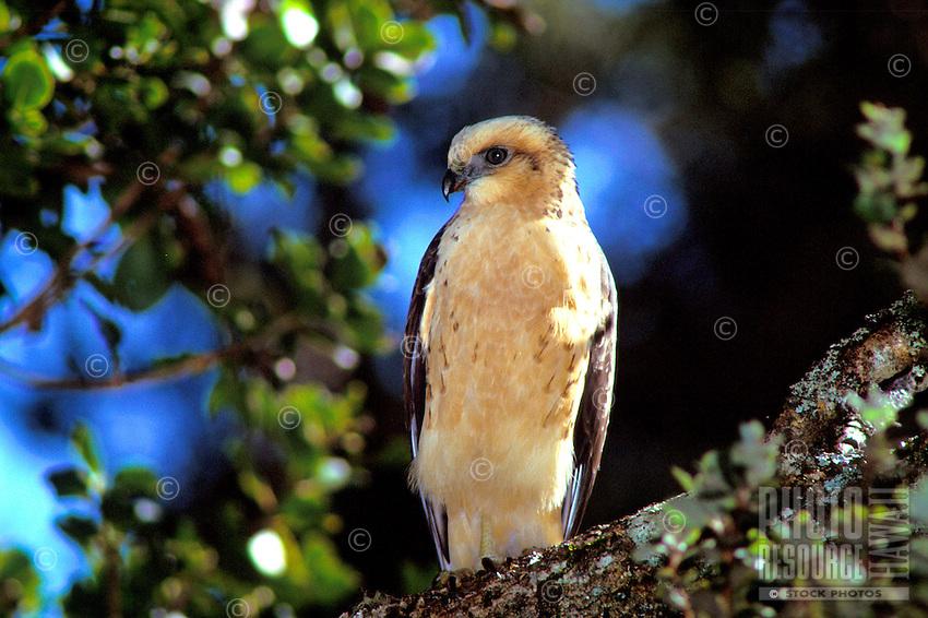 """Endangered Hawaiian hawk or """"""""io"""""""", (buteo solitarius). Widespread on the island of Hawaii."""