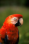 Brazil: bird, Macaw.  Photo: amazon103.Photo copyright Lee Foster, 510/549-2202, lee@fostertravel.com, www.fostertravel.com
