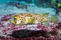 long spined porcupinefish or spiny balloonfish, Diodon holocanthus, family: Diodontidae, range: worldwide in tropical zones ( c )