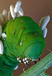 """"""" A Bad hair day!""""  Tobacco Hornworm with parasites. Growing up In central New Jersey, these were called """"Tomato Hornworms"""" because they were usually found in the  tomato fields."""