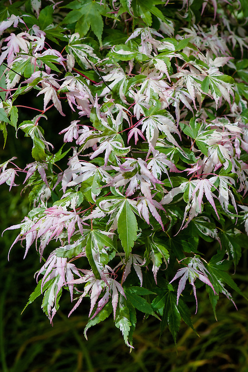 Acer palmatum 'Oridono nishiki', mid May. A Japanese maple whose new growth emerges in early spring with pink and white variegations on green leaves. Some new leaves may be completely white or pink. Later, variegated areas are cream and white. In autumn the foliage turns reddish-maroon.