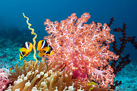 Clarks Anemonefish, Amphiprion clarkii, South Male Atoll, Maldives, Indian Ocean