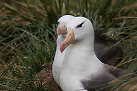 Black-browed Albatrosses Black-browed Albatrosses nesting at West Island, the Falkland Islands