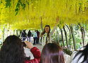 05/06/14 <br /> <br /> Visitors flock to marvel at Britain's largest laburnum arch at Bodnant Garden in Conwy, North Wales. The damp weather means that the blooms which normally only last two weeks will last longer this year. <br /> <br /> <br /> All Rights Reserved - F Stop Press.  www.fstoppress.com. Tel: +44 (0)1335 300098