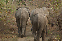 Elephants retreating in the Lower Zambezi, Zambia Africa.