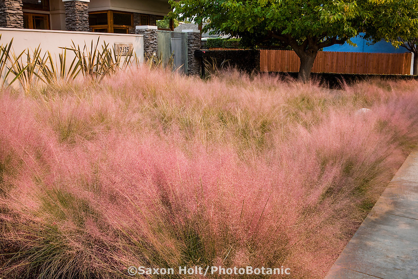 Muhlenbergia capillaris, Purple (or) Pink muhly grass flowering lawn substitute meadow grass in front yard garden