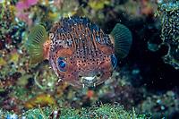 spiny porcupinefish, balloonfish, Diodon holocanthus, Futo, Sagami bay, Izu peninsula, Shizuoka, Japan, Pacific Ocean