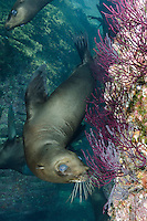 California Sea Lion, Zalophus californianus, Los Islotes, Baja, Sea of Cortez, Eastern Pacific.